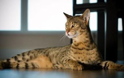 Sifat Dan Karakter Kucing Ashera