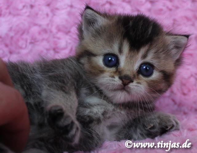 Britisch Kurzhaar Katzenbabys  golden tabby ticked