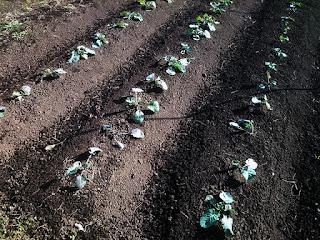 植え替え後の茎立菜