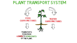 The Transport System in Plants