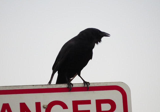 Fish Crow - Merritt Island, Florida