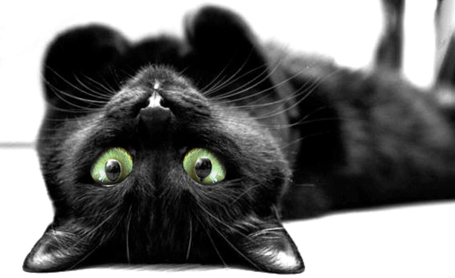 ¿Traen los gatos negros mala suerte?