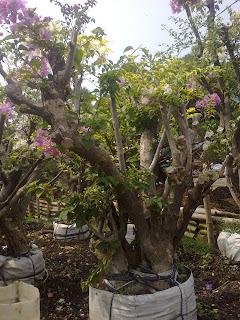 Jual bunga kertas |  Pohon bougeville