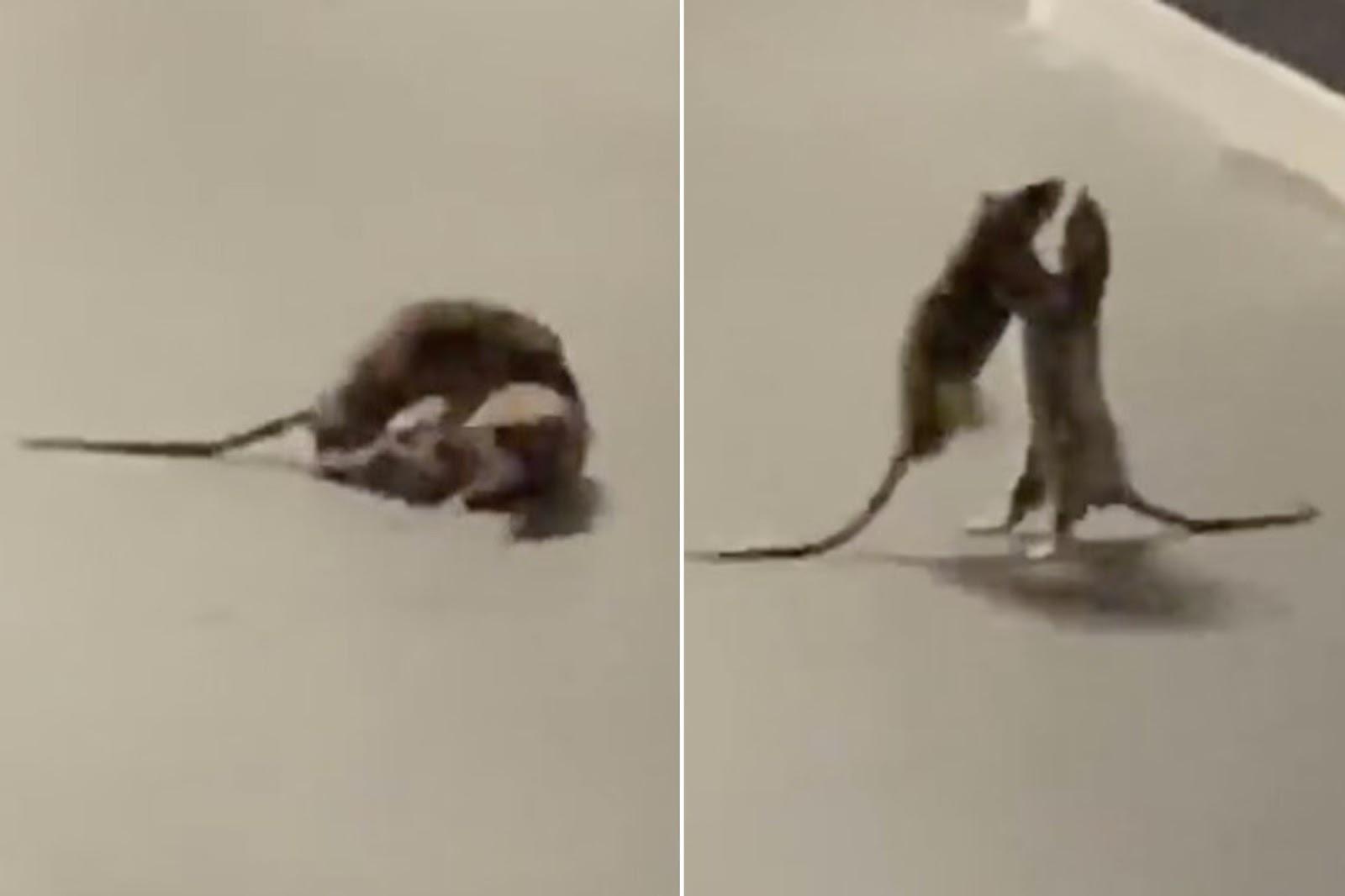 Rats Boxing