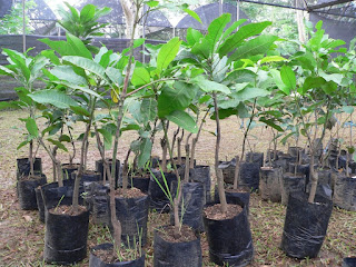Jual Bibit Unggul Pohon Mangga