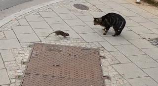Γάτα το έπαιξε νταής σε αρουραίο και το μετάνιωσε (Βίντεο)