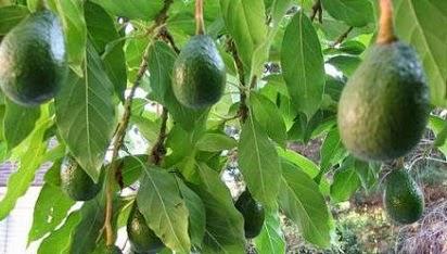 manfaat daun alpukat untuk darah tinggi,alpukat untuk hipertensi,daun salam,buah alpukat,daun alpukat untuk kolesterol,
