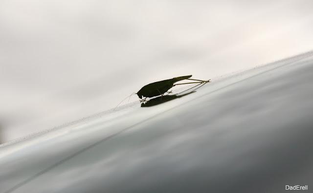 Sauterelle verte sur un pare-brise de voiture