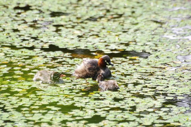 一面のヒシの中泳ぐカイツブリの親子~江別市泉の沼公園
