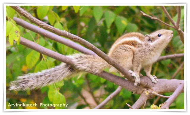 squirrel,beautiful,indian,