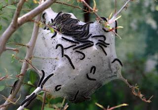 The huge caterpillar nest