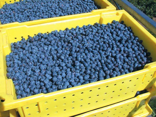 Washington Blueberries