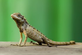 Does it mean good or bad to see lizard at home?