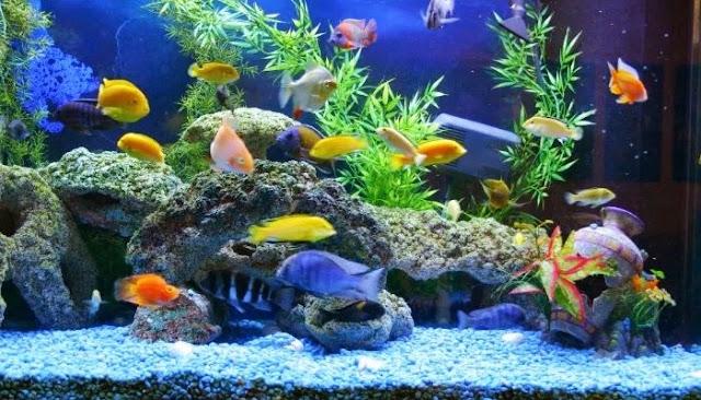 Apa Penyebab Ikan Cepat Mati di Akuarium?