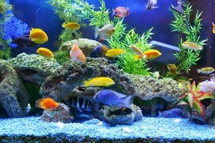 Apa Penyebab Ikan Cepat Mati di Akuarium? Baca Yuk!