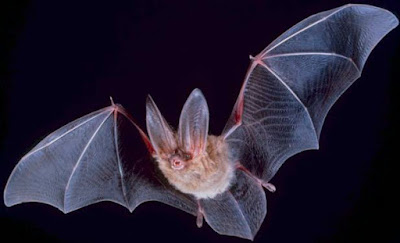 Big-eared-townsend-fledermaus-PD-USGov