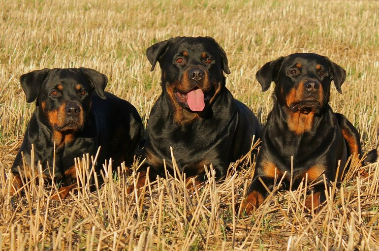 Education and training of a Rottweiler puppy