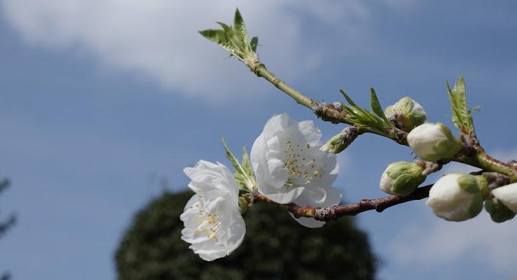 青い空と白い雲に聳える枝に咲く白梅と蕾