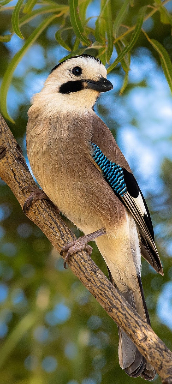Beautiful Eurasian jay.