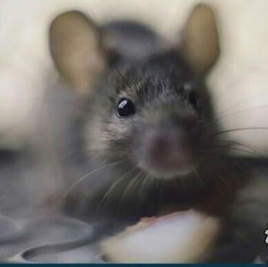 11 Bahan Makanan Untuk Mengusir Tikus