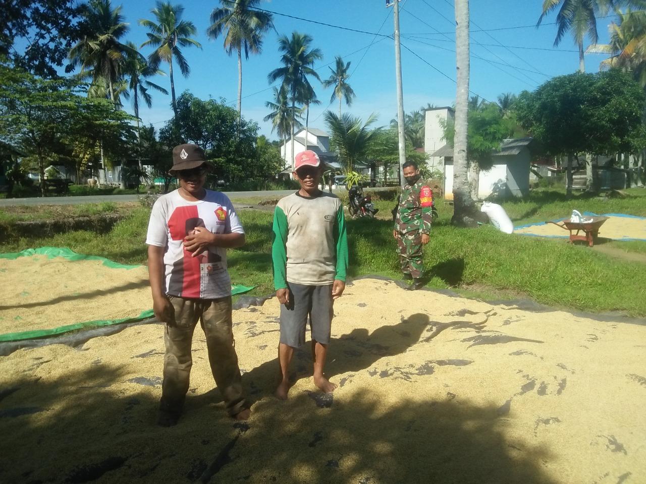 Jaga Kwalitas Pasca Panen, Babinsa Tanjung Tengah, Bantu Jemur Padi Petani