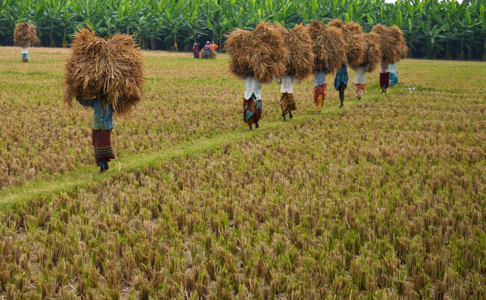 SEVAI Self Help Groups are involved in intensive Rice paddy cultivation.