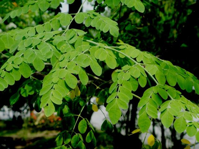 Ayurveda benefits of moringa