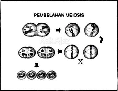 Pembelahan Meiosis II, profase, metafase, anafase, telofase, soal Biologi no. 28 UN 2017