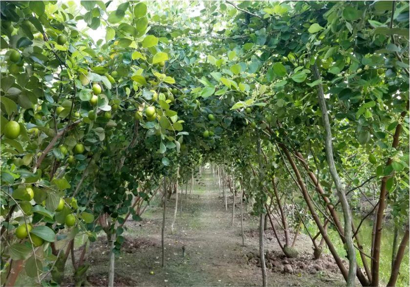 vườn táo xanh cao lãnh