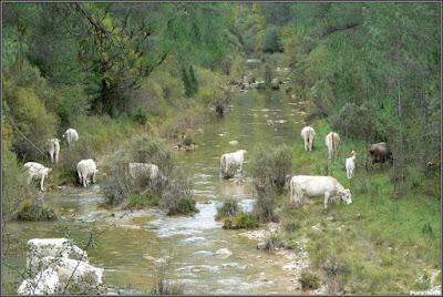 Ganado bovino en el Río Escabas