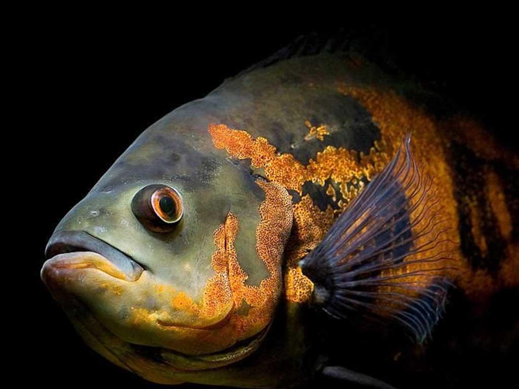 Astronot Balığı Hakkında Bilgi