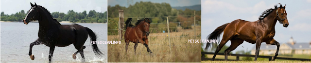 Arabian horse_Pets