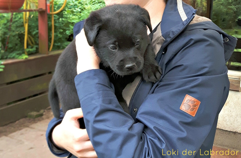 Labrador Welpe Loki Schwarz