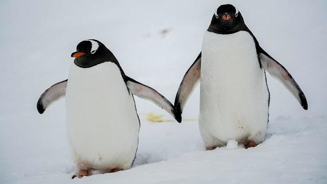 penguin dan pasangannya