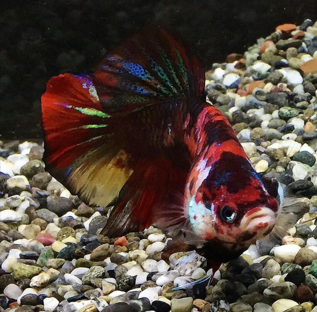 Ikan Cupang Besar