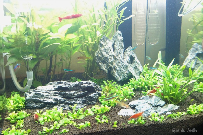Un peque o acuario tropical en casa guia de jardin for Peces para peceras pequenas agua fria