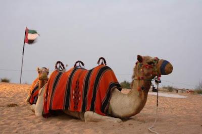 camel ride in the desert with go dubai desert safari