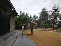 Sokong Hasil Swasembada Pangan, Babinsa Koramil 02/AP Lakukan Jemur Padi Bersama Warga