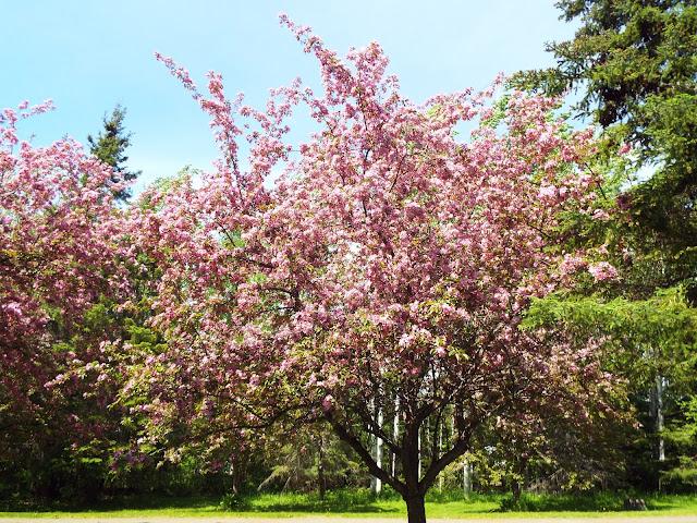pink flowering crabapple trees