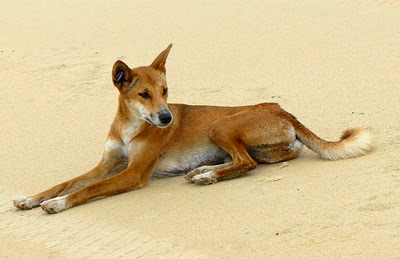 dingoes to cull or not to Australia's dingoes need our help  facebook events and other information on the dingo cull  who have always lived peacefully with the dingoes, were not.