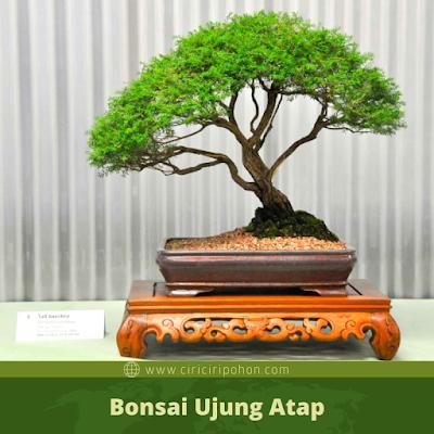 Bonsai Ujung Atap