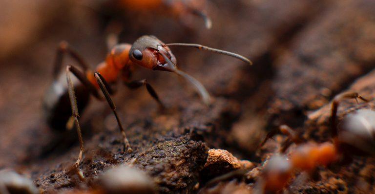 cara mengusir ampuh semut dengan Bahan Alami
