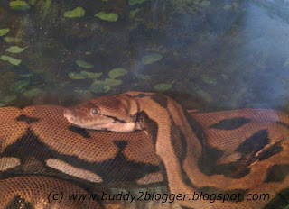 Reticulated Python coiled poster image
