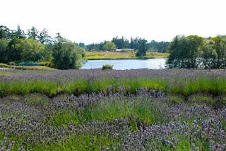 Pelinaba Lavender Farm San Juan Island Washington