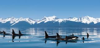 Image showing Killer Whales