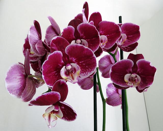 Phalaenopsis, moth orchids, Livorno