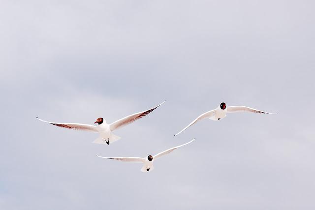 Lachmöwen im Formationsflug