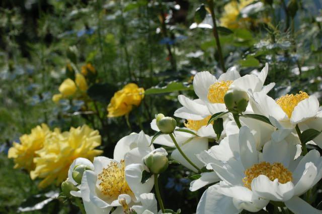 romantische rozentuin. pioen en rozen