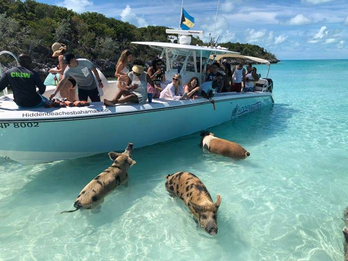 pigs swim in the Bahamas