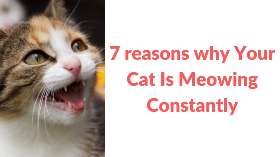 7 reasons why Your Cat Is Meowing Constantly